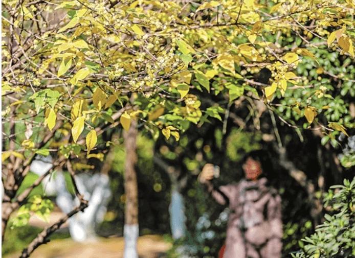 宁波月湖景区:蜡梅绽放引客来
